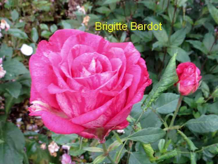 roses en vrac - Page 6 Img_5044