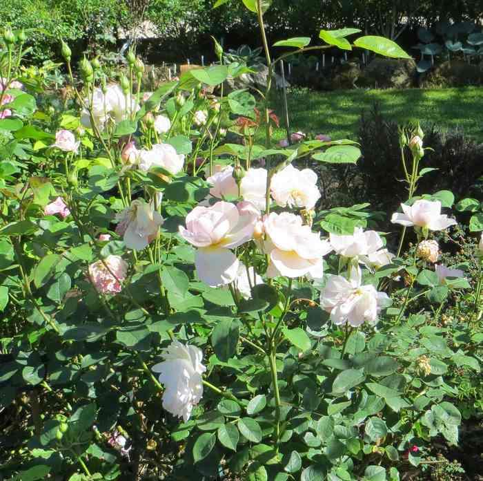 roses en vrac - Page 9 Img_5046