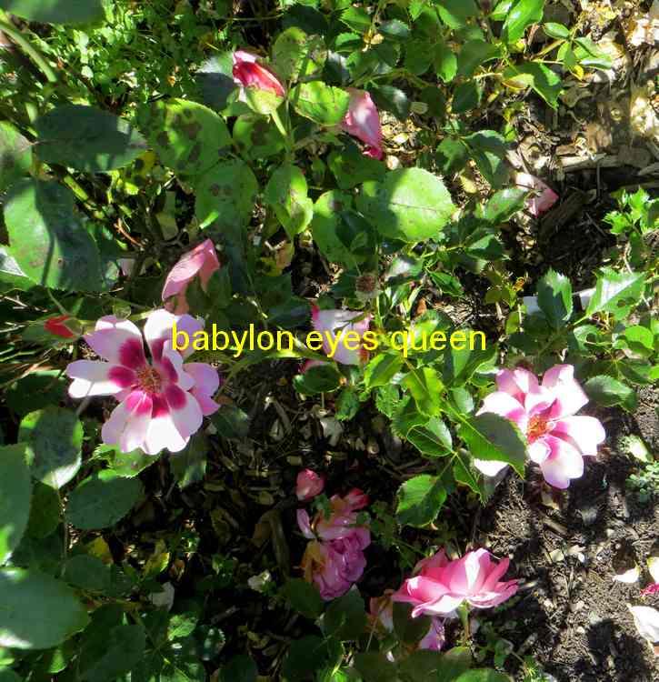 roses en vrac - Page 9 Img_5048