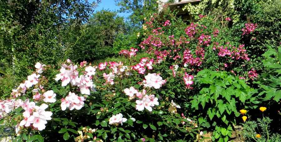 roses en vrac - Page 9 Img_5049