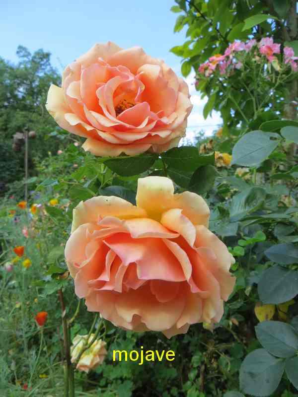 roses en vrac - Page 6 Img_5123