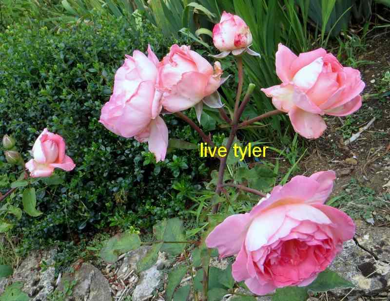 roses en vrac - Page 8 Img_5225