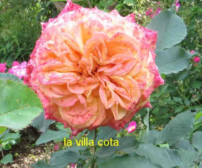 roses en vrac - Page 9 La_vil11