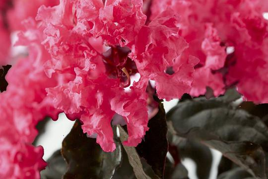 lagerstroemia shell pink Lagers10