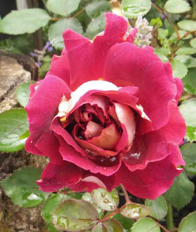 rosier Louis Francia Louis_10