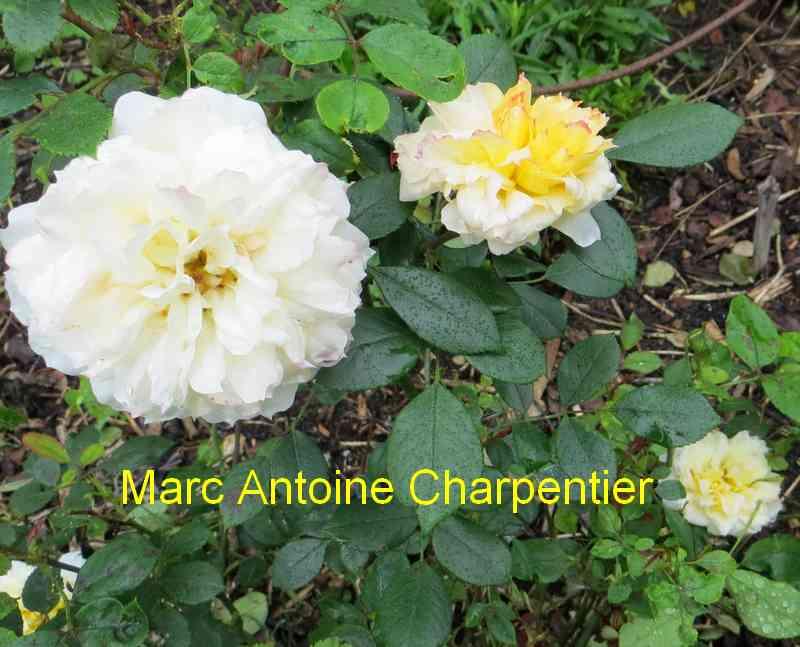 roses en vrac - Page 9 Marc_a12