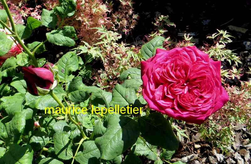 roses en vrac - Page 9 Mauric12