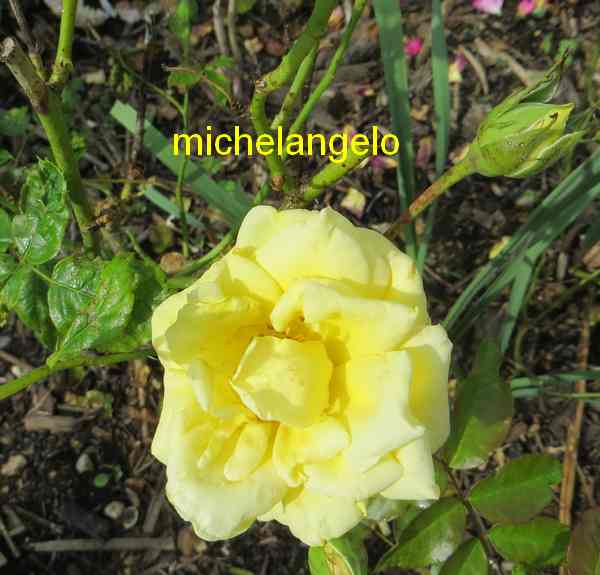 roses en vrac - Page 9 Michel11