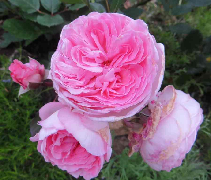 rosier mme de Maintenon Mme_de10