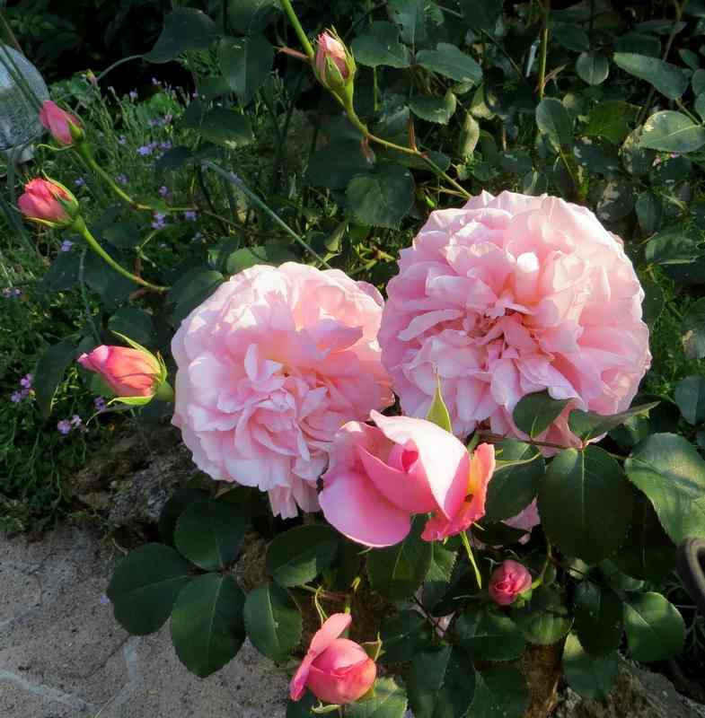 rosier mme de Maintenon Mme_de12