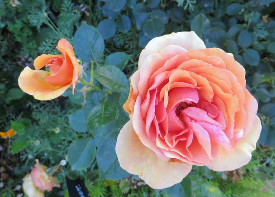 rosier Mojave Mojave10