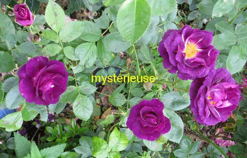 roses en vrac - Page 10 Mystzo12
