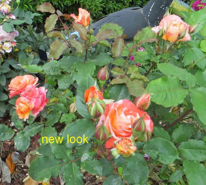 roses en vrac - Page 10 New_lo11