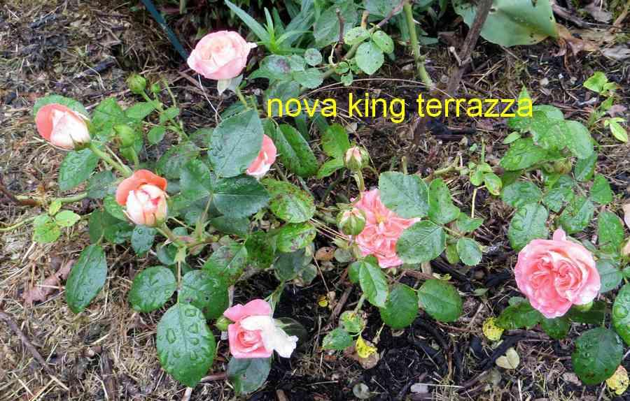 roses en vrac - Page 10 Nova_k11