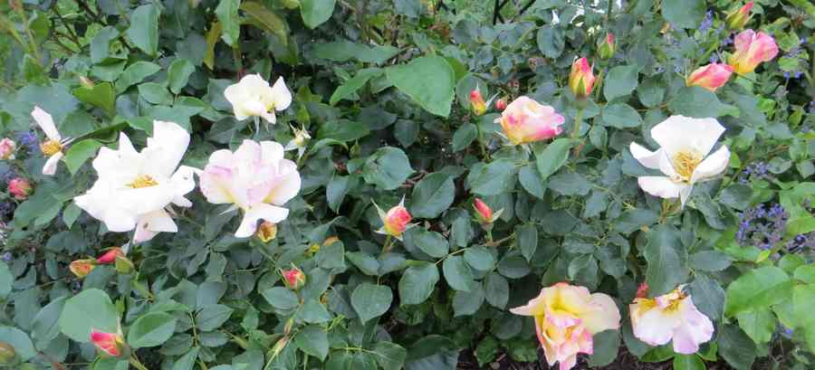 rosa olivier rollinger - Page 3 Olivie10