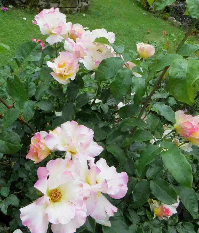 rosa olivier rollinger - Page 3 Olivie11