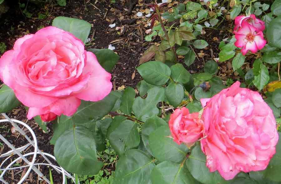 rosa panthère rose - Page 2 Panthz10