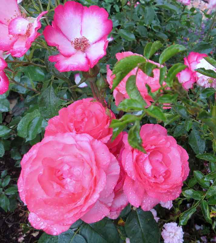 rosa panthère rose - Page 2 Panthz11