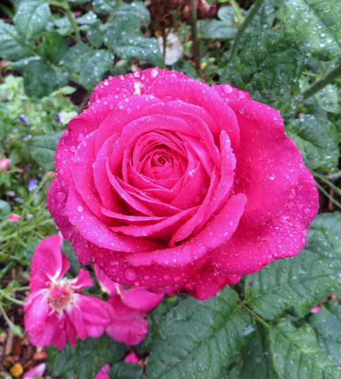Rosa Parfum de Honfleur  - Page 3 Parfum11