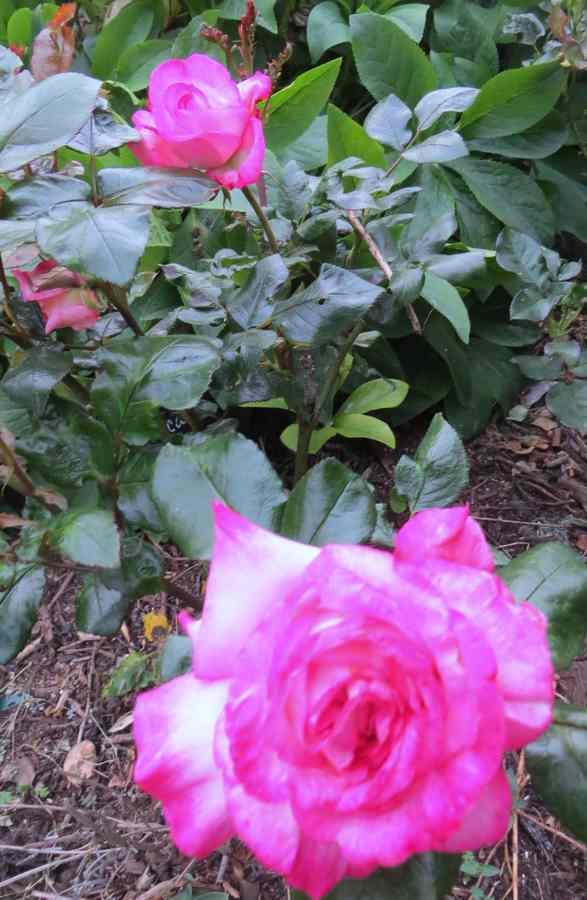 "Rosa ""Pascal Sevran"" - Page 2 Pascal12"
