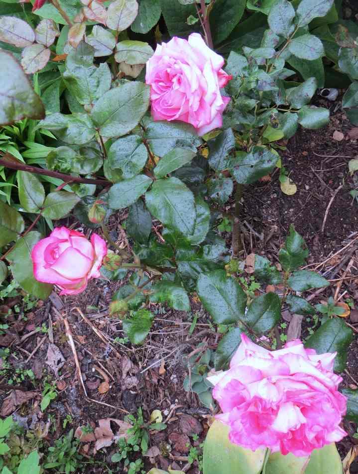 "Rosa ""Pascal Sevran"" - Page 2 Pascal13"