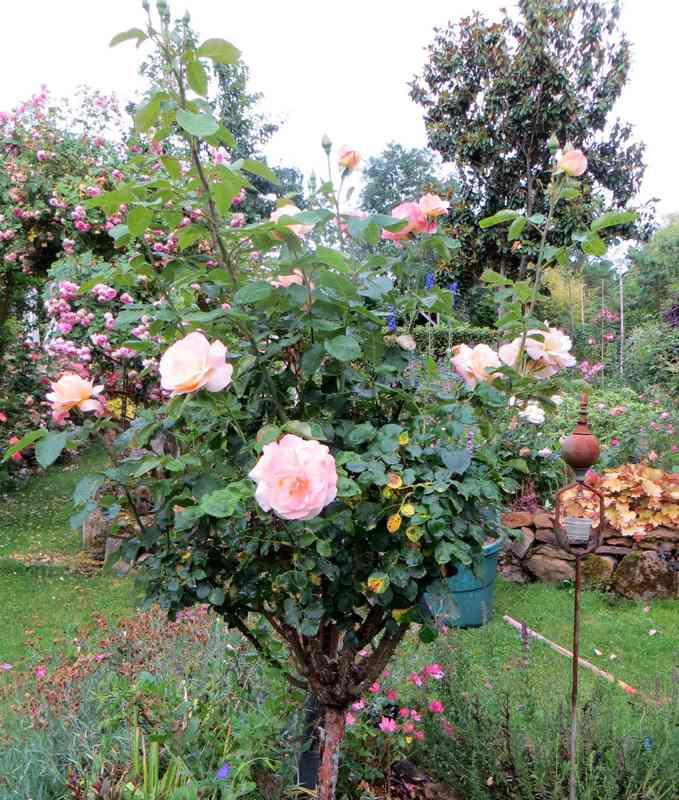 rosa peace Peace11
