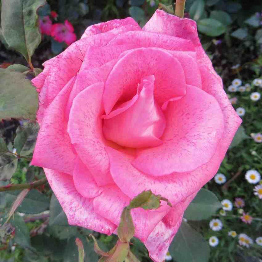 Rosa Pierre Cardin - Page 2 Pierre10