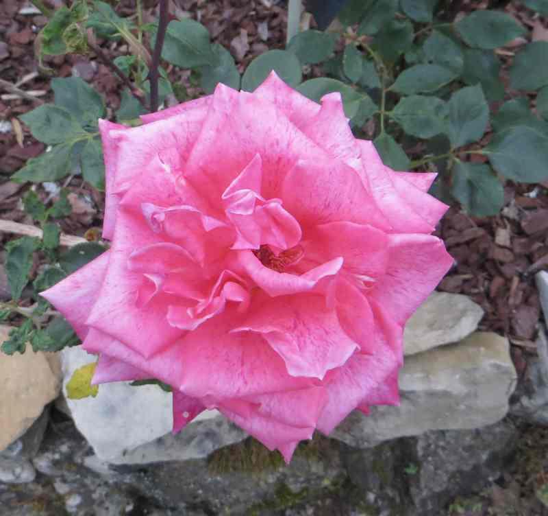 Rosa Pierre Cardin - Page 2 Pierre11