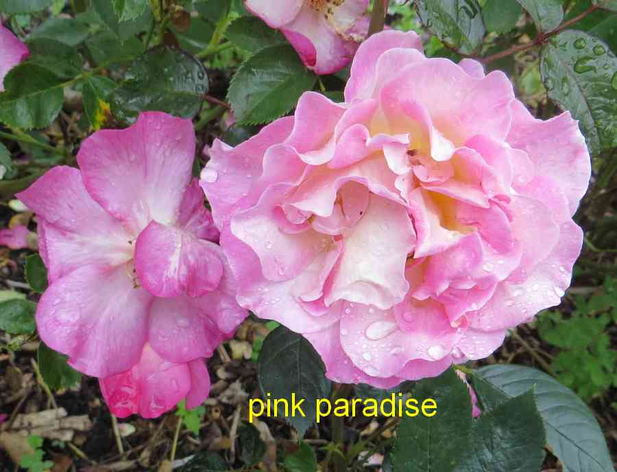 roses en vrac - Page 10 Pink_p10