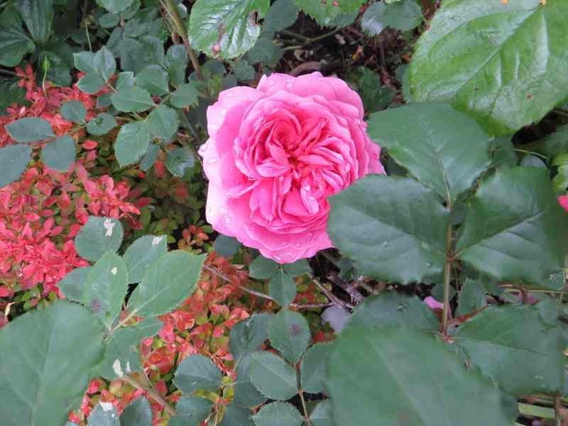 Rosa 'Princesse Alexandra of Kent' !!! - Page 2 Prince10