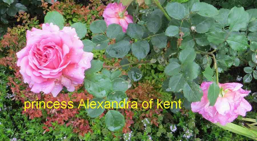 roses en vrac - Page 10 Prince13