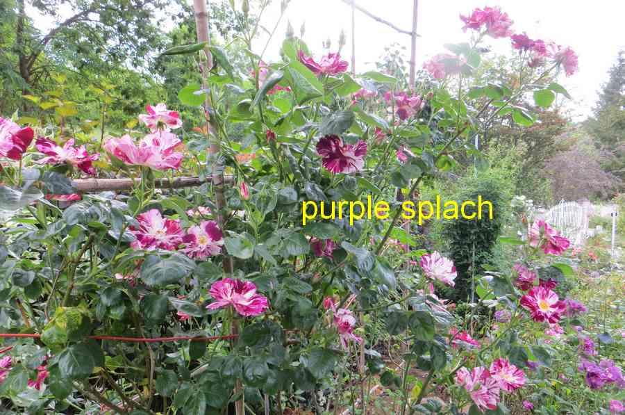 roses en vrac - Page 10 Purple17