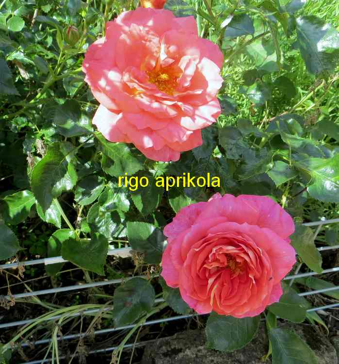 roses en vrac - Page 10 Rigo_a12