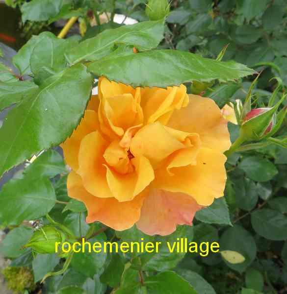 roses en vrac - Page 10 Rochem11