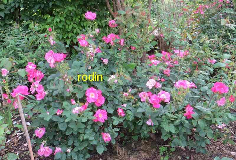 roses en vrac - Page 10 Rodin12