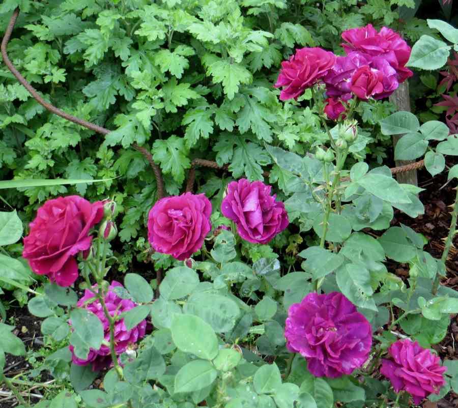 rose du roi à fleurs pourpres Roi_de11
