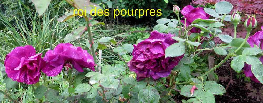 roses en vrac - Page 10 Roi_de13