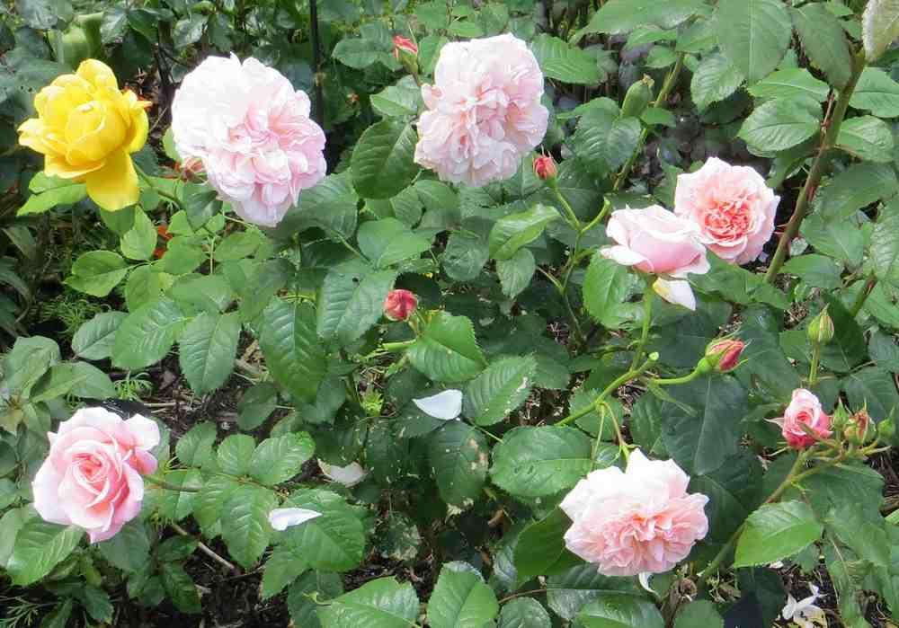 rose de Tolbiac Rose_d14