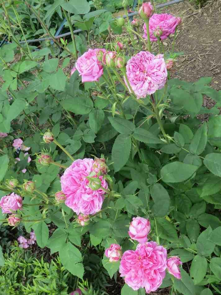 rose des peintres Rose_d15