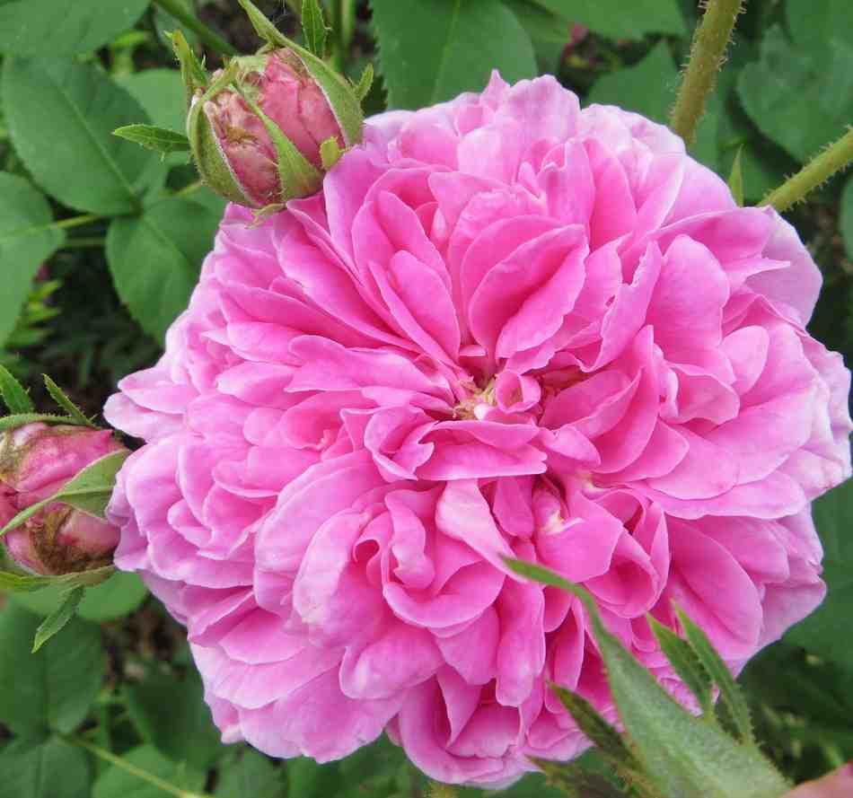 rose des peintres Rose_d16