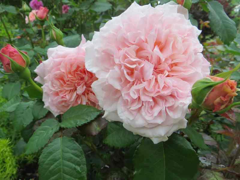 rose de Tolbiac Rose_d17