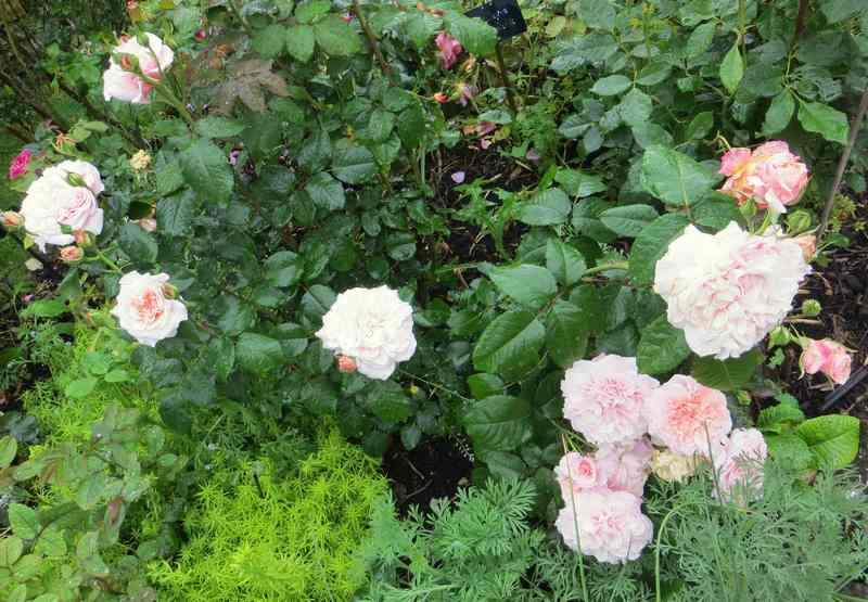 rose de Tolbiac - Page 2 Rose_d18