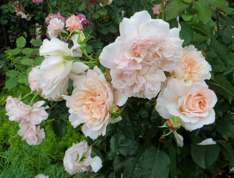 rose de Tolbiac - Page 2 Rose_d19