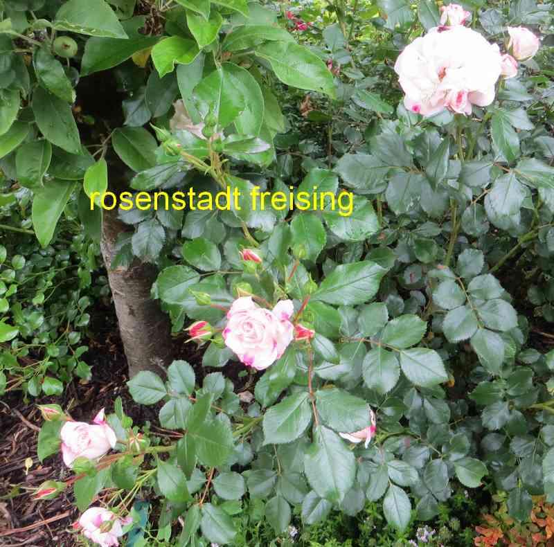 roses en vrac - Page 10 Rosest10