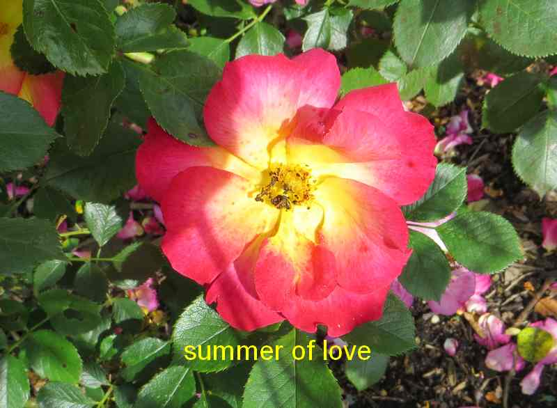 roses en vrac - Page 10 Summer10