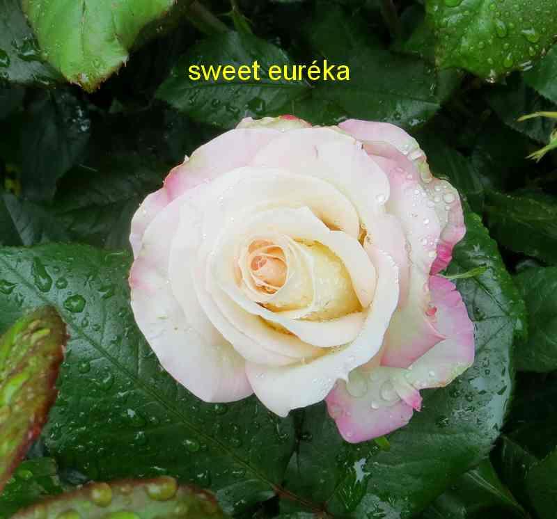 roses en vrac - Page 10 Sweet_11