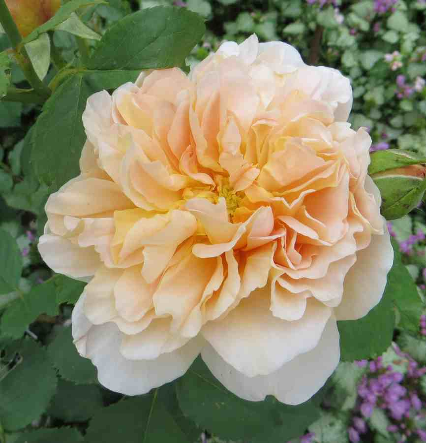 rosier Tea Clipper - Page 2 Tea_cl12