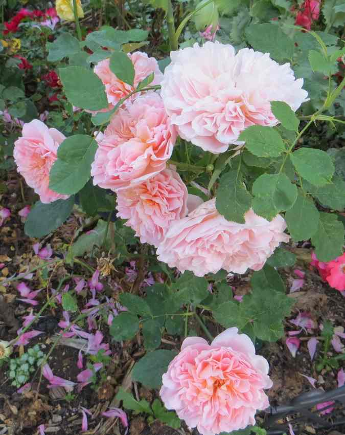 rosier Tea Clipper - Page 2 Tea_cl14