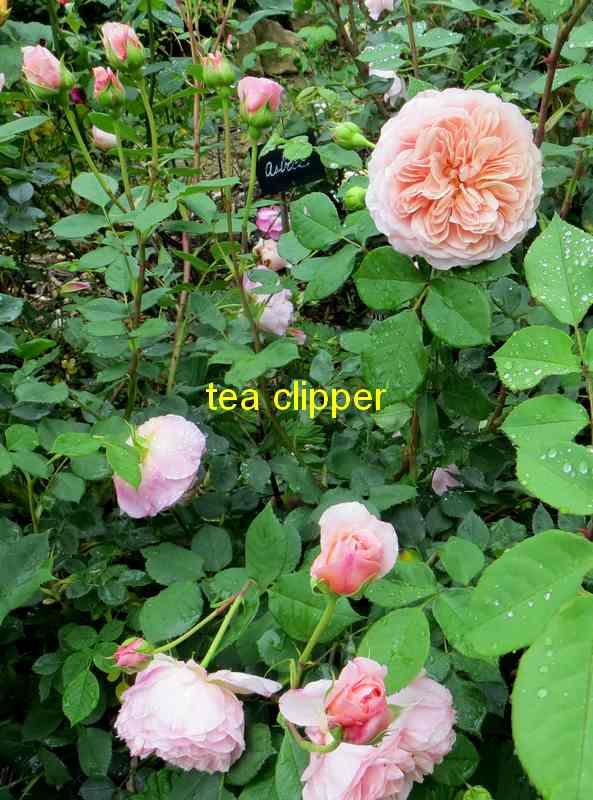 roses en vrac - Page 10 Tea_cl15