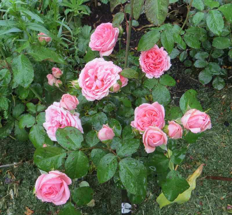 rosier tom tom Tom_to11